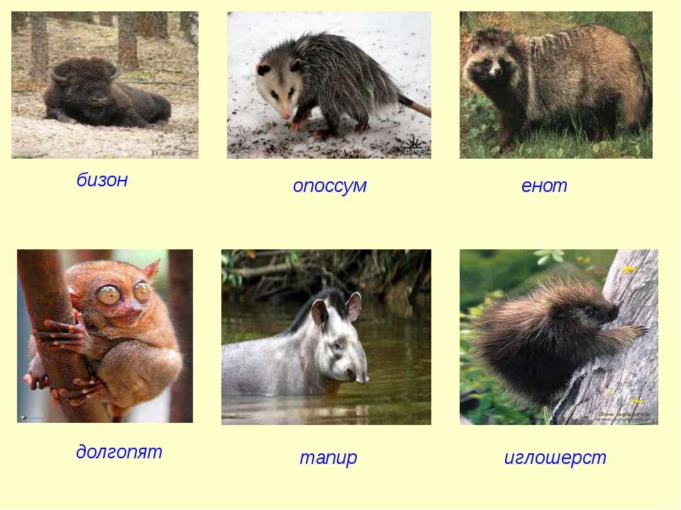 бизон опоссум енот долгопят тапир иглошерст