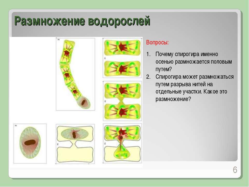 Почему спирогира именно осенью размножается половым путем? Спирогира может ра...