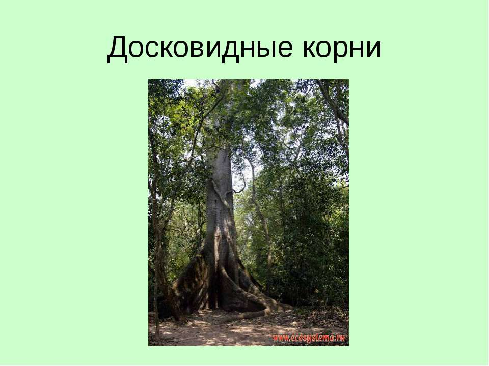 Досковидные корни