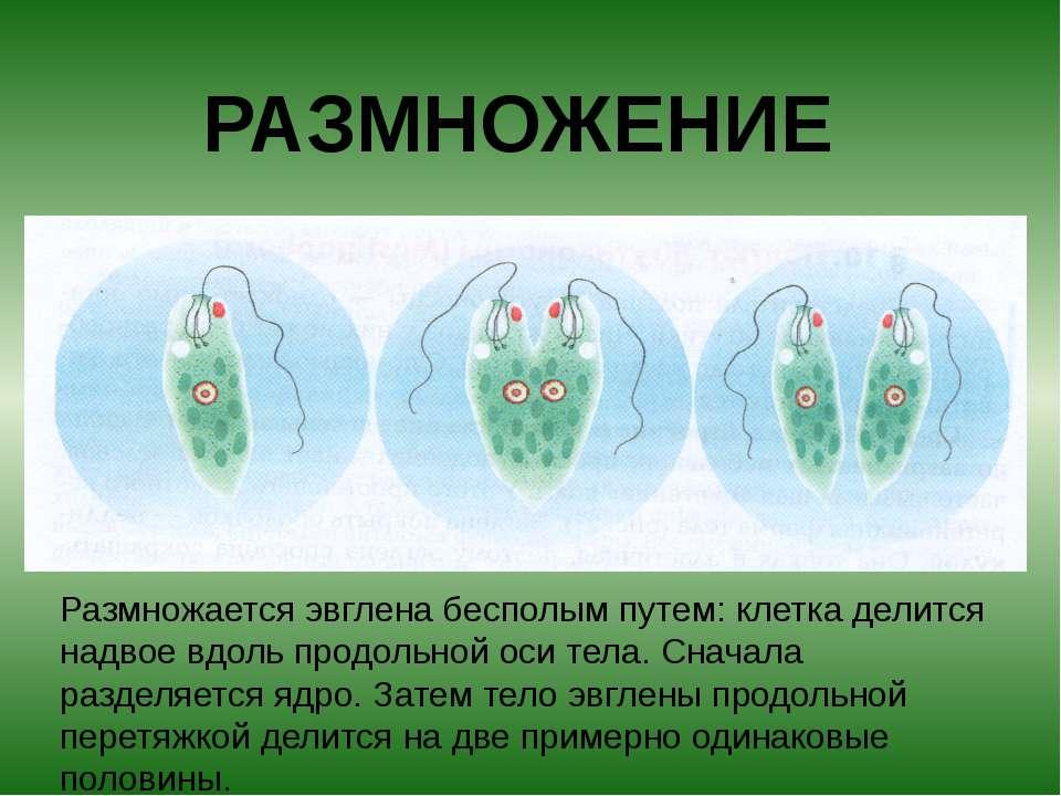 РАЗМНОЖЕНИЕ Размножается эвглена бесполым путем: клетка делится надвое вдоль ...