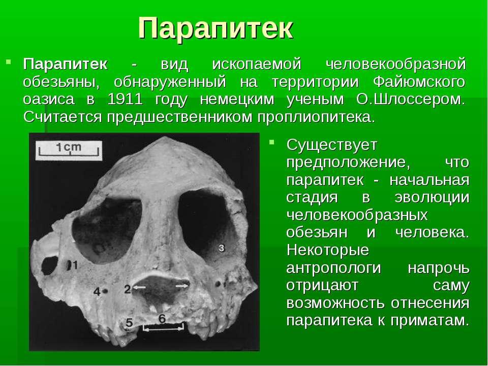 Парапитек Парапитек - вид ископаемой человекообразной обезьяны, обнаруженный ...