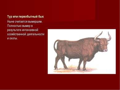 Тур или первобытный бык Ныне считается вымершим. Полностью вымер в результате...