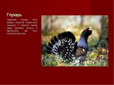 Глухарь Названием «глухарь» птица обязана известной особен-ности токующего в ...