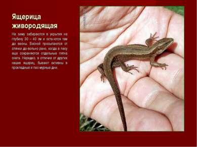 Ящерица живородящая На зиму забираются в укрытия на глубину 30 – 40 см и оста...