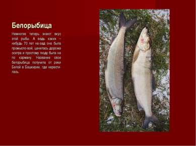 Белорыбица Немногие теперь знают вкус этой рыбы. А ведь каких – нибудь 70 лет...