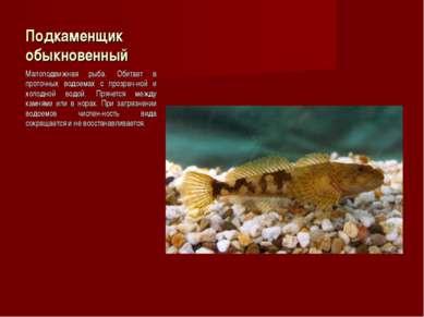 Подкаменщик обыкновенный Малоподвижная рыба. Обитает в проточных водоемах с п...