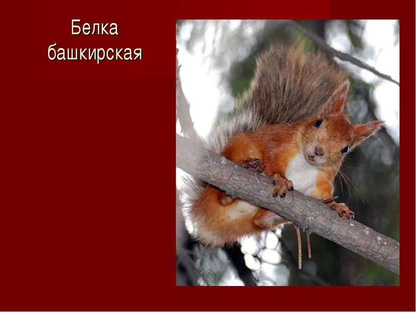 Белка башкирская