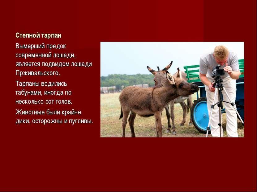 Степной тарпан Вымерший предок современной лошади, является подвидом лошади П...