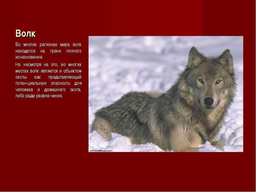 Волк Во многих регионах мира волк находится на грани полного исчезновения. Но...