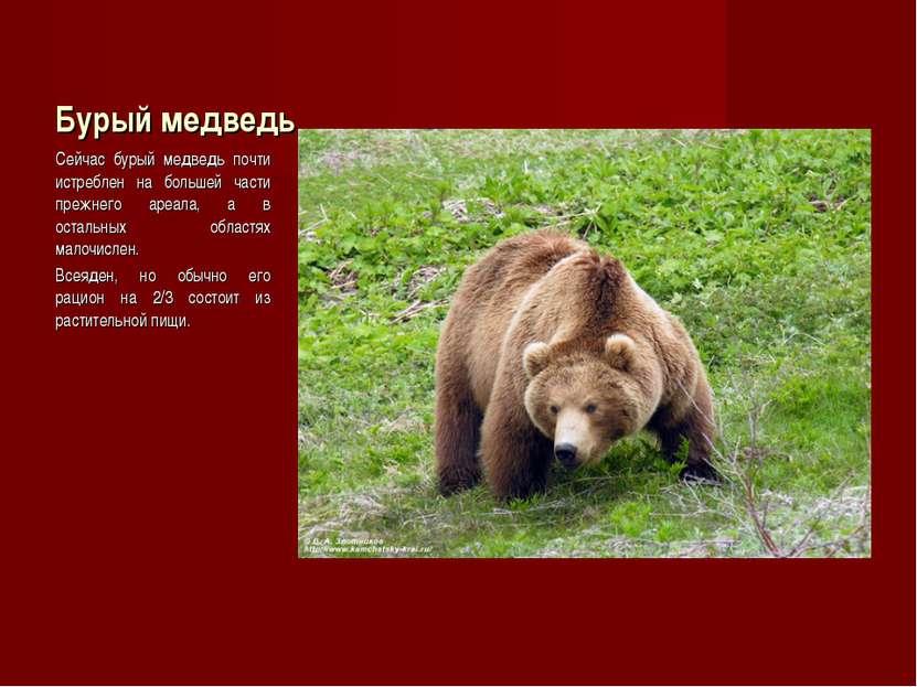 Бурый медведь Сейчас бурый медведь почти истреблен на большей части прежнего ...