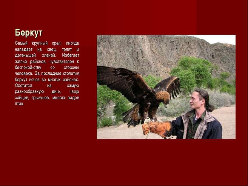 Беркут Самый крупный орел, иногда нападает на овец, телят и детенышей оленей....