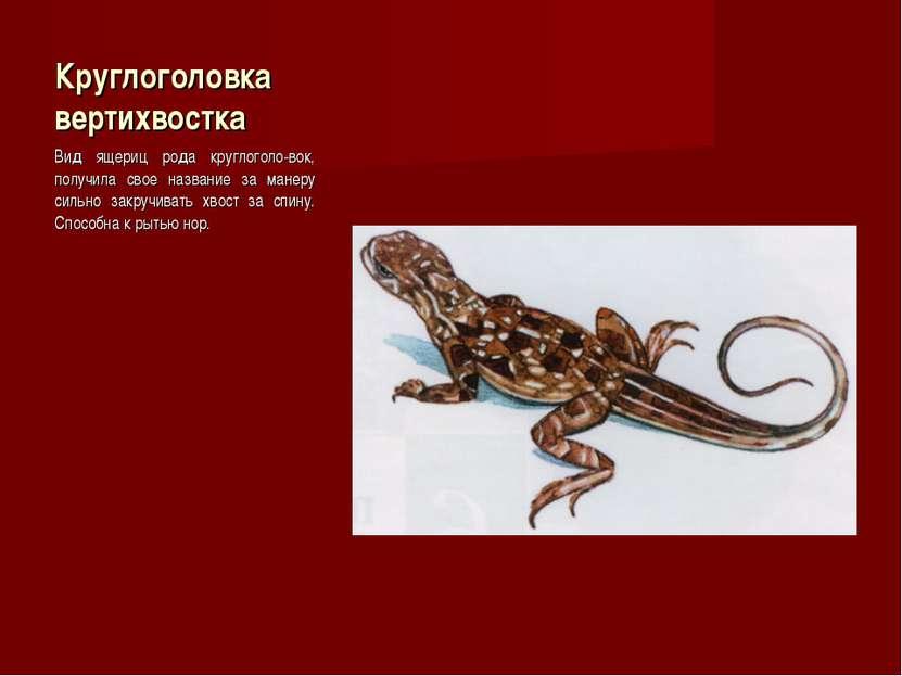 Круглоголовка вертихвостка Вид ящериц рода круглоголо-вок, получила свое назв...
