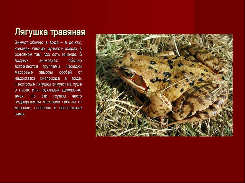 Лягушка травяная Зимует обычно в воде – в ре-ках, канавах, ключах, ручьях и о...