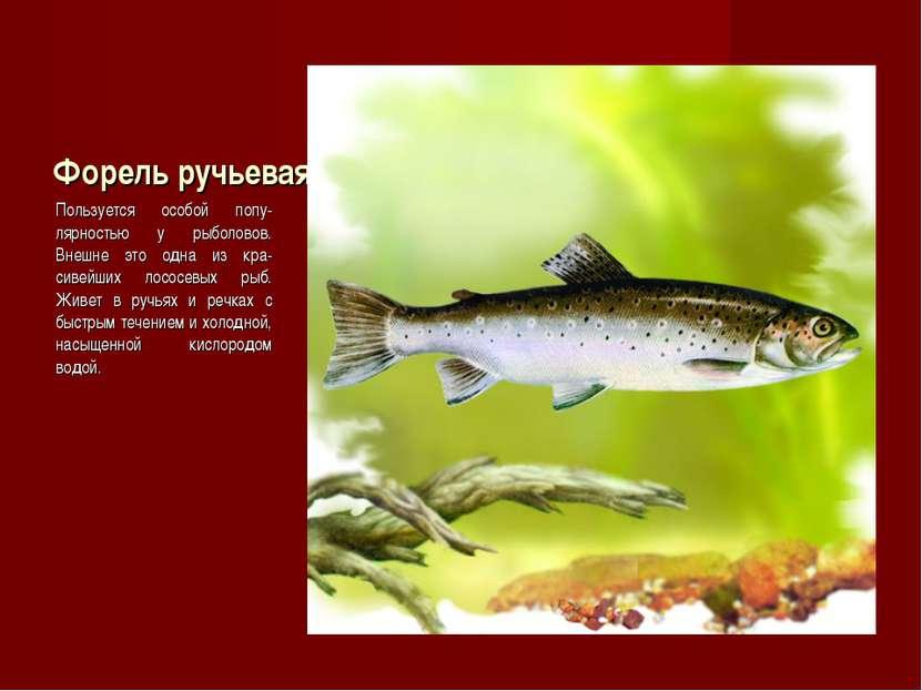 Форель ручьевая Пользуется особой попу-лярностью у рыболовов. Внешне это одна...
