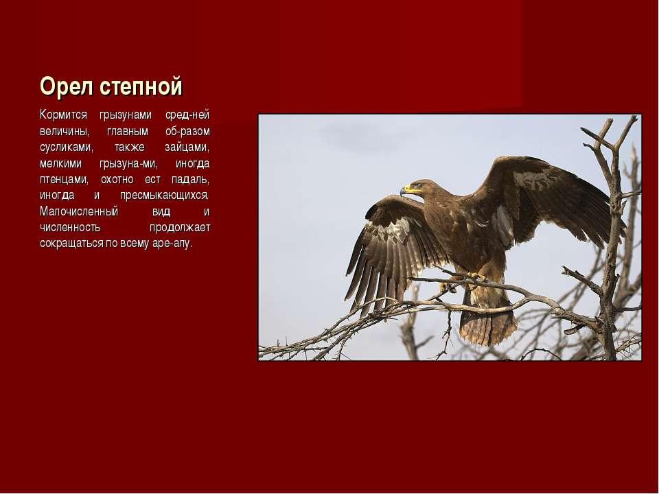 Орел степной Кормится грызунами сред-ней величины, главным об-разом сусликами...