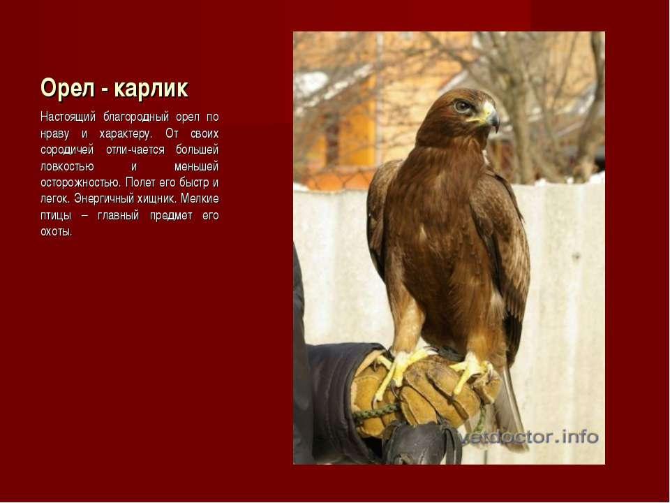 Орел - карлик Настоящий благородный орел по нраву и характеру. От своих сород...