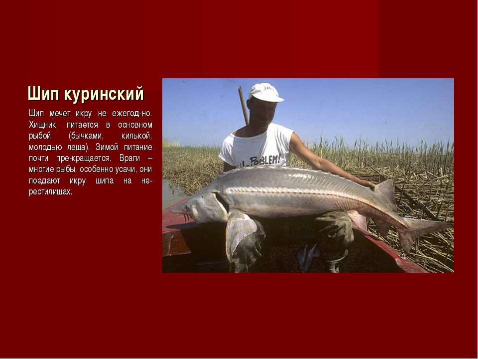Шип куринский Шип мечет икру не ежегод-но. Хищник, питается в основном рыбой ...