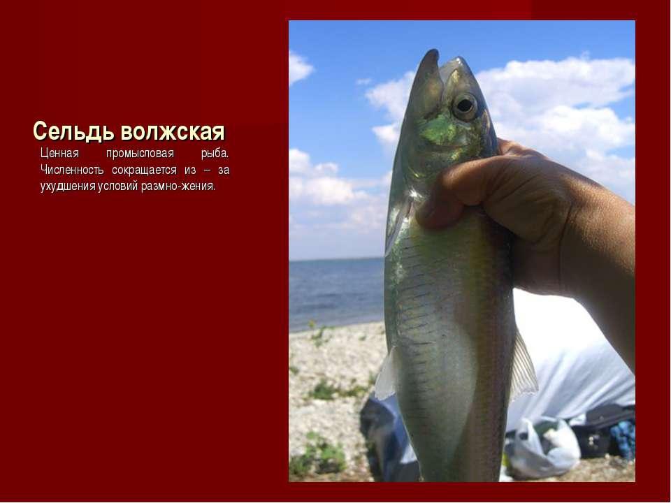 Сельдь волжская Ценная промысловая рыба. Численность сокращается из – за ухуд...