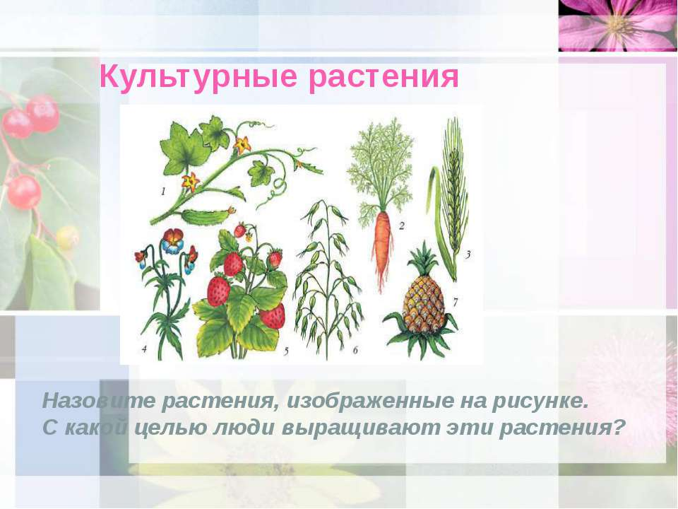 Культурные растения Назовите растения, изображенные на рисунке. С какой целью...