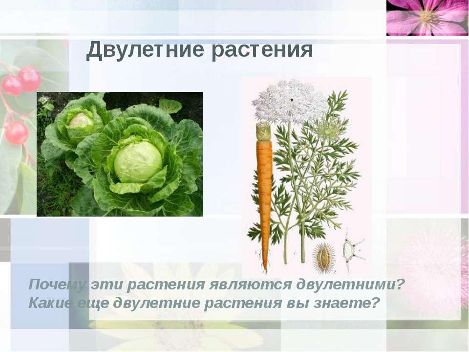 Двулетние растения Почему эти растения являются двулетними? Какие еще двулетн...