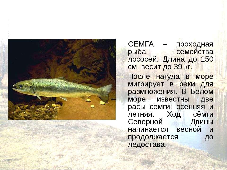 СЕМГА – проходная рыба семейства лососей. Длина до 150 см, весит до 39 кг. По...
