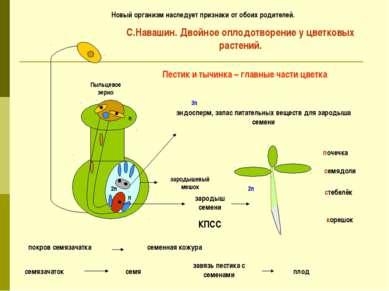 зародыш семени корешок стебелёк семядоли почечка эндосперм, запас питательных...