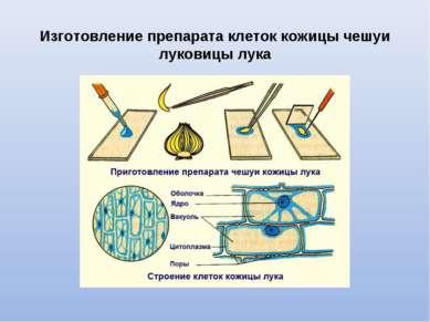 Изготовление препарата клеток кожицы чешуи луковицы лука