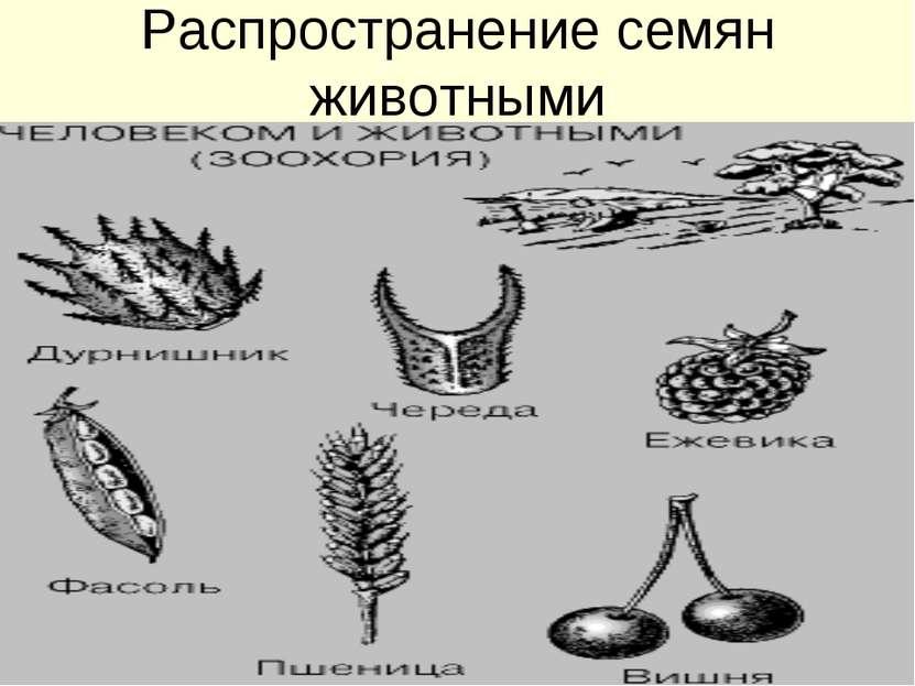 Распространение семян животными