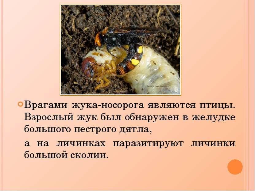 Врагами жука-носорога являются птицы. Взрослый жук был обнаружен в желудке бо...