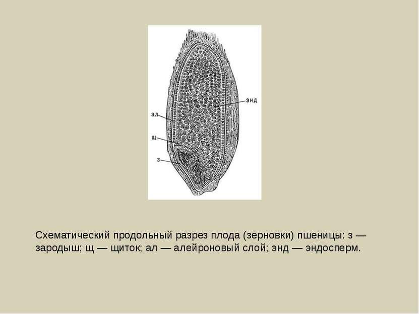 Схематический продольный разрез плода (зерновки) пшеницы: з — зародыш; щ — щи...