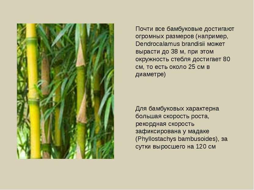 Почти все бамбуковые достигают огромных размеров (например, Dendrocalamus bra...
