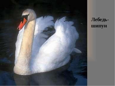 Лебедь- шипун