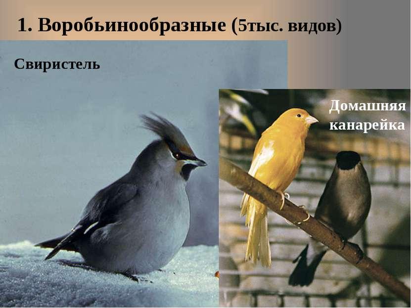 1. Воробьинообразные (5тыс. видов) Свиристель Домашняя канарейка