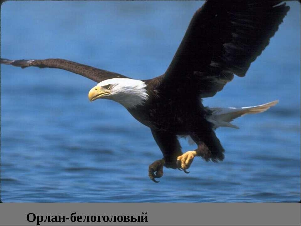 Орлан-белоголовый