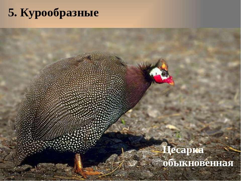 5. Курообразные Цесарка обыкновенная