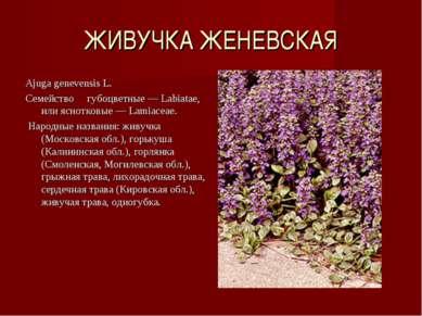 ЖИВУЧКА ЖЕНЕВСКАЯ Ajuga genevensis L. Семейство губоцветные — Labiatae, или я...