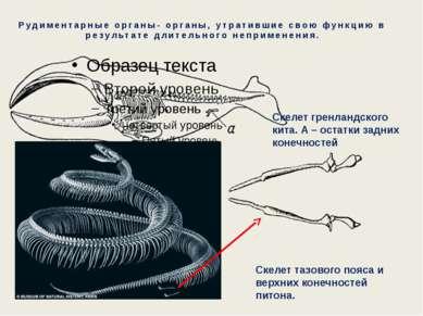 Рудиментарные органы- органы, утратившие свою функцию в результате длительног...