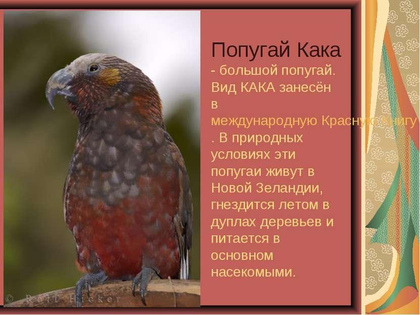 Попугай Кака - большой попугай. Вид КАКА занесён в международную Красную Книг...