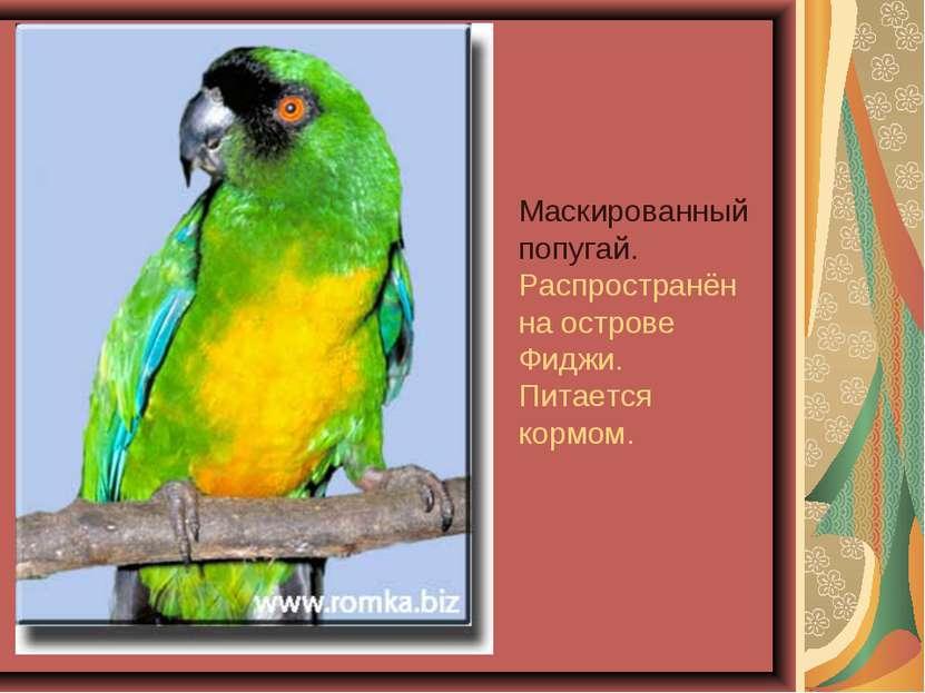 Маскированный попугай. Распространён на острове Фиджи. Питается кормом.
