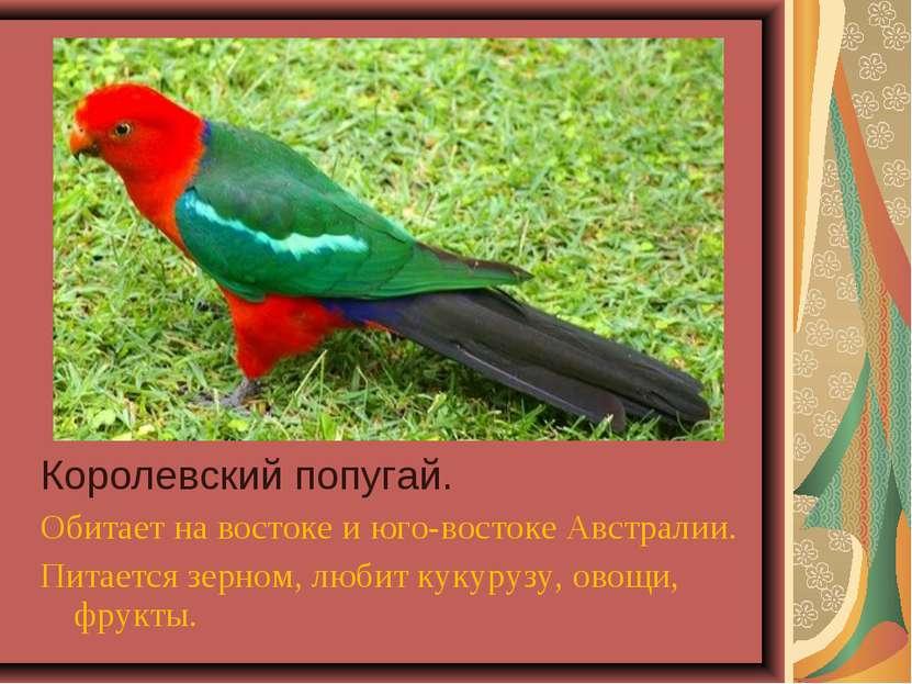 Королевский попугай. Обитает на востоке и юго-востоке Австралии. Питается зер...