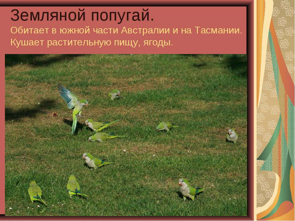 Земляной попугай. Обитает в южной части Австралии и на Тасмании. Кушает расти...