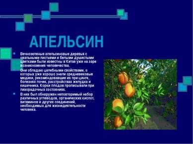 АПЕЛЬСИН Вечнозеленые апельсиновые деревья с овальными листьями и белыми души...