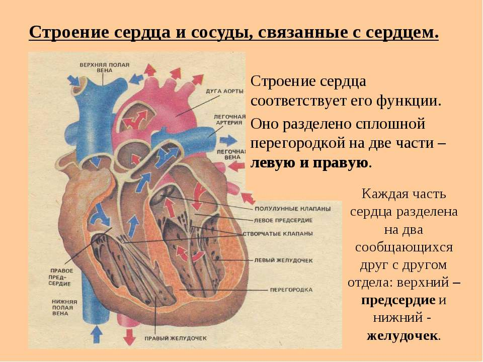Строение сердца и сосуды, связанные с сердцем. Строение сердца соответствует ...