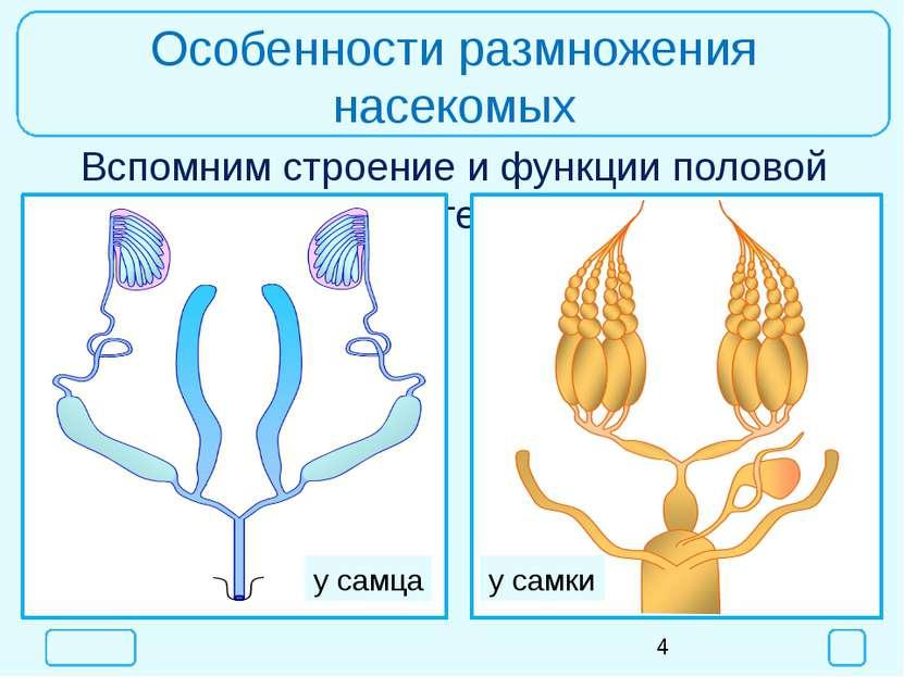 Особенности размножения насекомых Вспомним строение и функции половой системы...