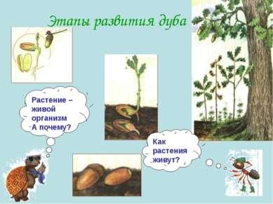 Этапы развития дуба Как растения живут? Растение – живой организм А почему?