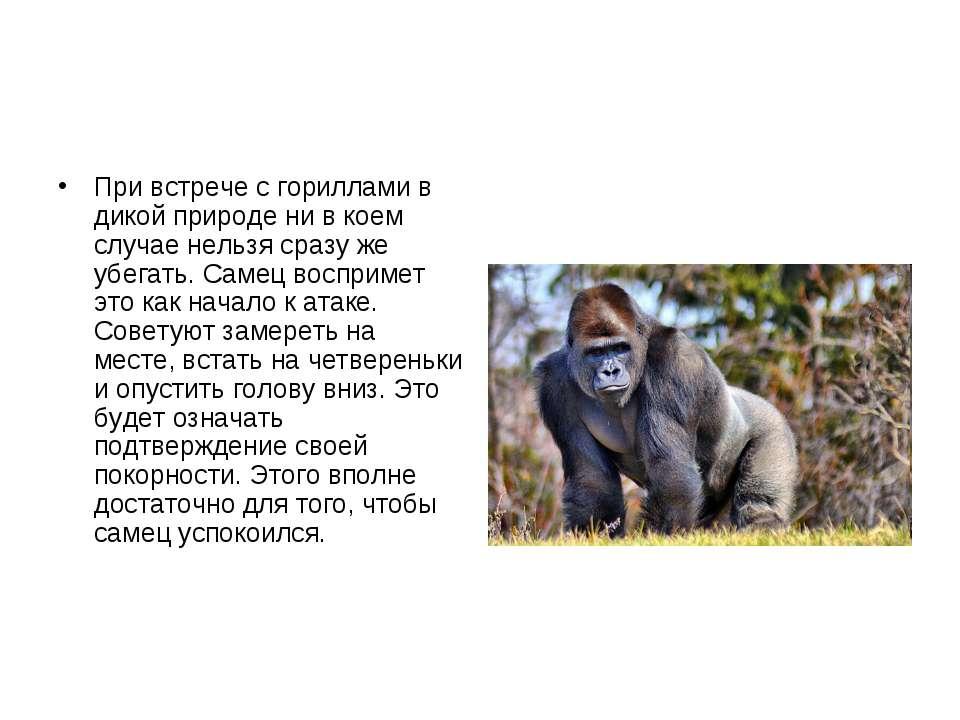 При встрече с гориллами в дикой природе ни в коем случае нельзя сразу же убег...