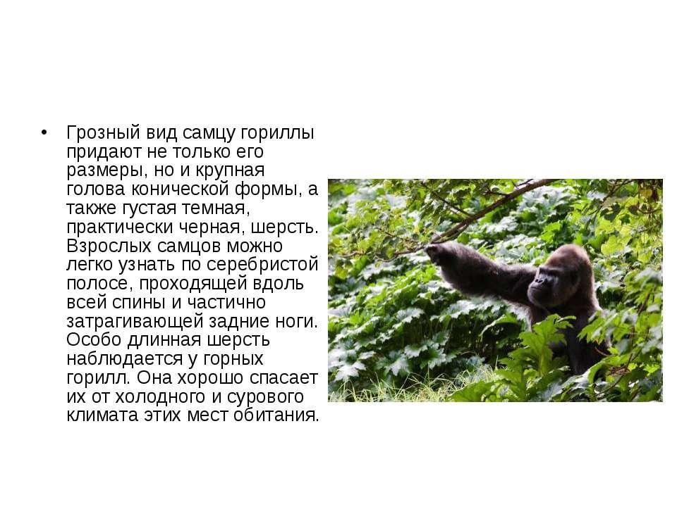 Грозный вид самцу гориллы придают не только его размеры, но и крупная голова ...