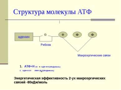 Структура молекулы АТФ аденин Ф Ф Ф Рибоза Макроэргические связи АТФ+Н 2О АДФ...
