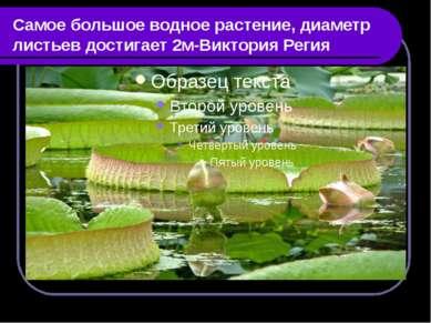 Самое большое водное растение, диаметр листьев достигает 2м-Виктория Регия
