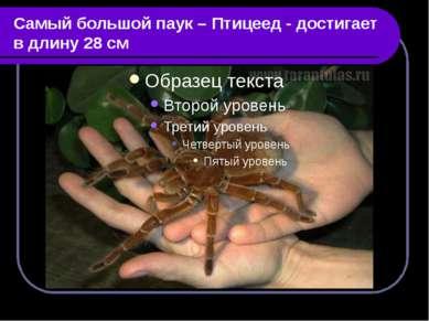 Самый большой паук – Птицеед - достигает в длину 28 см